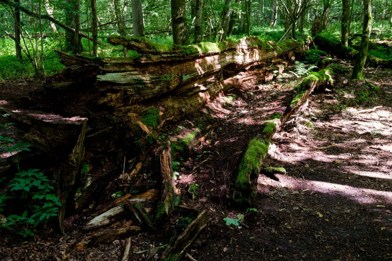 Dąb Jagiełły to martwe drewno, które w ciągu kilkudziesięciu lat zostało rozłożone przez mieszkańców Puszczy