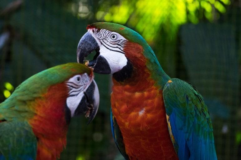 Para Ar. Dwie papugi Ara