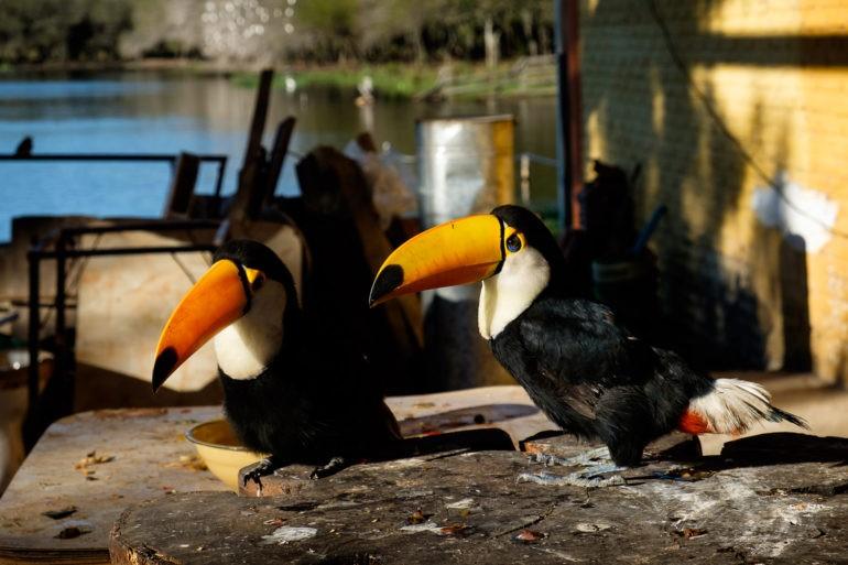Udomowione tukany przy zajeździe. Niestety w locie żadnych nie widzieliśmy