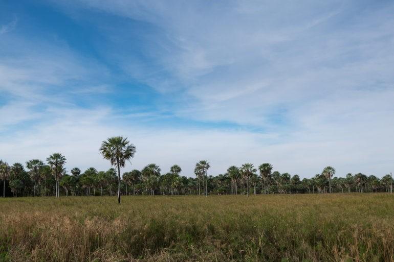 Dużą część drzewostanu stanowią palmy