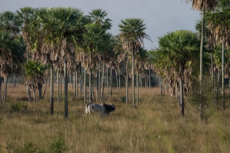 Między palmami pasą się