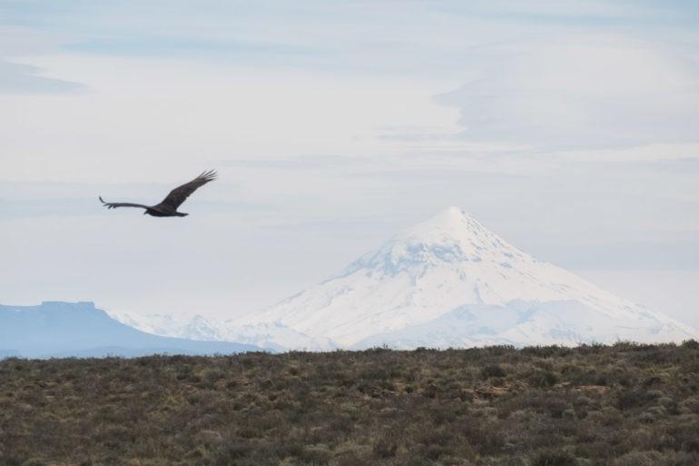 Kondor na tle wulkanu Lanin
