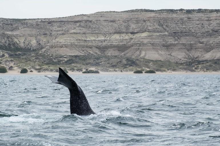 Młody wieloryb macha ogonem