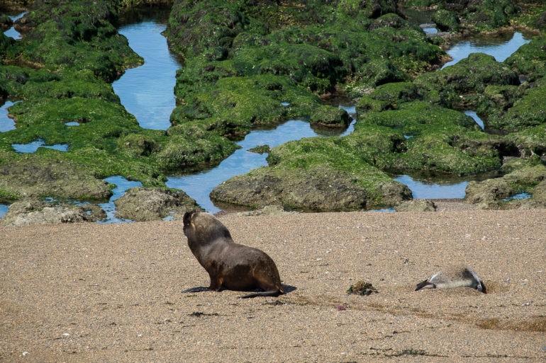 Lew morski na lądzie porusza się z wielkim wysiłkiem