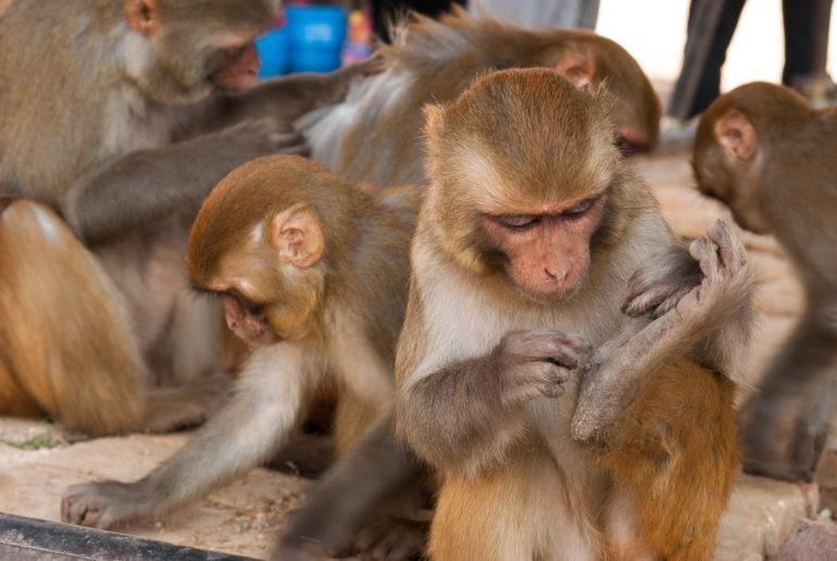 Małpy w Świątyni Małp