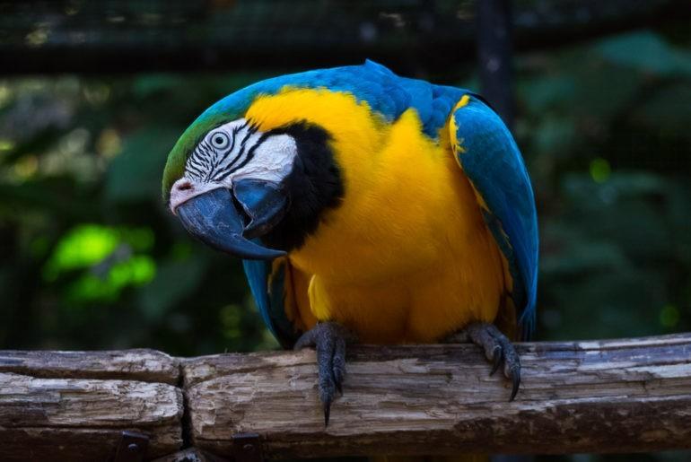 Papuga Ara