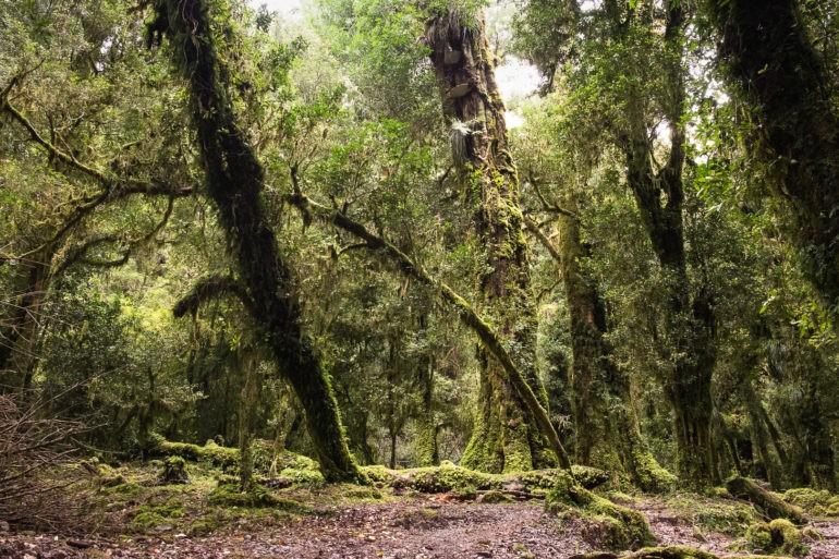 Stary las w dolinie Cochamo