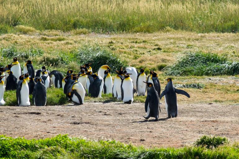 Radość, gdy pingwiny spacerują