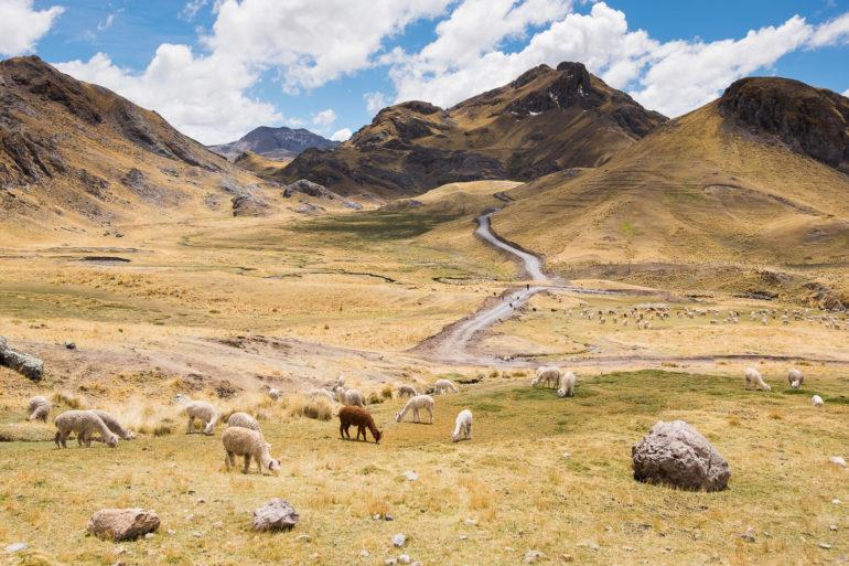 Po kilkunastu kilometrach dołączają do nas alpaki, nasi stali towarzysze na szlaku