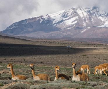 Wikunie pod Chimborazo