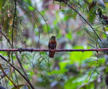 Koliber w rezerwacie Tapichalca niedaleko Valladolid