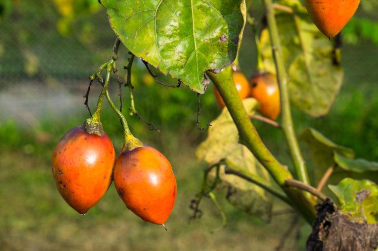 Tomate de arbol w ogrodzie